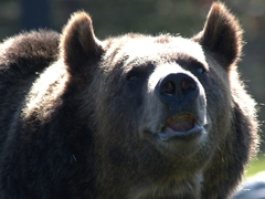 Sam, a large 1050 pound grizzly hailing from Alaska who became habituated to human food