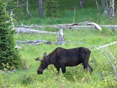 Moose; Bighorn National Forest