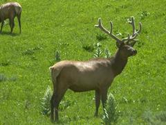 Elk grazing near Yellowstone Falls