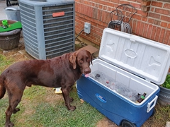Roscoe drinking ice water from the cooler; Middletown