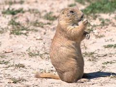 Prairie dog munching on grass