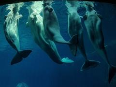 Beluga whales; Georgia aquarium