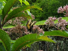 Tiger Swallowtail butterfly; Mabry Mill