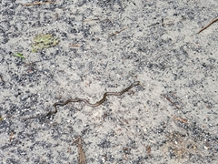 Snake on the hiking trail at Natural Bridge