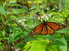 Monarch butterfly; Shenandoah National Park