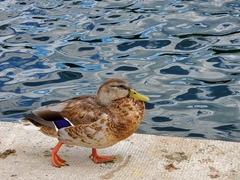 Mallard hanging out at the Capitol reflection pool