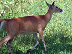 White tailed deer; Shenandoah National Park