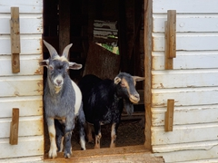 Goats eyeballing our peaches; Historic Round Barn