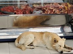 A stray dog sleeps at the butcher shop