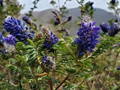 Wild flowers in bloom; Lake Cuicocha