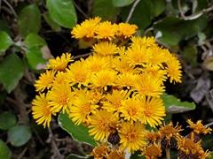 Wild flowers; Lake Cuicocha