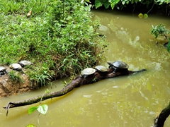 Turtles sunning themselves at AmaZOOnico animal sanctuary