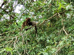Woolly monkey mother feeding her baby