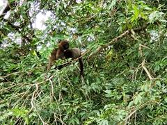 Woolly monkey mother feeding her baby