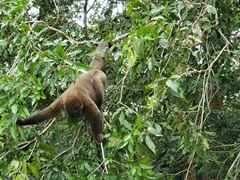 This woolly monkey showed no fear in our boat as we cruised down the Amazon