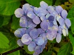 Purple flowers; Machay waterfall