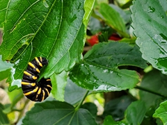 A caterpillar munching on a leaf; Machay Waterfall
