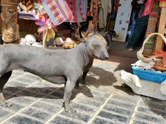 Peruvian hairless dog; Paracas