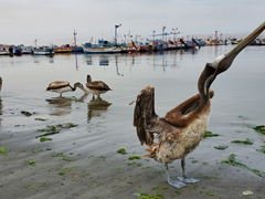 Pelican greeting at Paracas