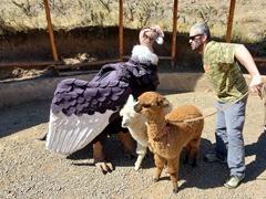 A condor, alpaca, llama and Robby