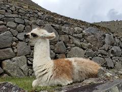 A yawning baby llama; Machu Picchu