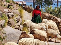 A Taquile lady herds a flock of sheep