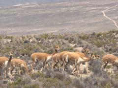 Herd of wild vicuñas; Salinas y Aguada Blanca National Reserve