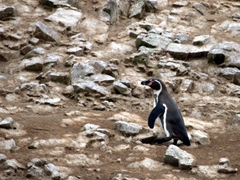 A Humboldt penguin walks towards its burrow; Ballestas Islands