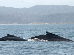Humpback whales migrate just off Mancora from July to October