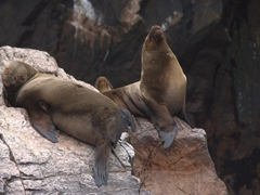 Sea lions taking a siesta; Ballestas Islands