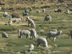 A herd of alpacas and sheep graze together