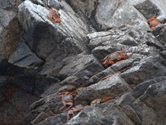 Sally lightfoot crabs; Ballestas Islands