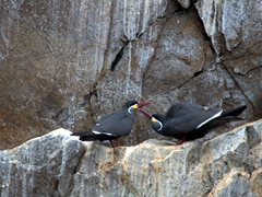 Inca tern mating ritual; Ballestas Islands