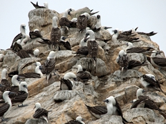 Peruvian boobies; Ballestas Islands