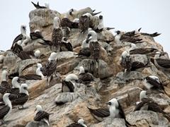 Peruvian boobies; Ballestas Islands