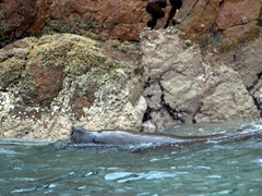 Sea lion swimming near Ballestas Islands