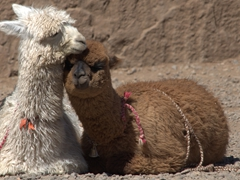 Close up of an alpaca snuggling next to a llama; Colca Canyon
