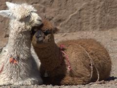 Close up of an alpaca snuggling next to a llama; Colca Canyon