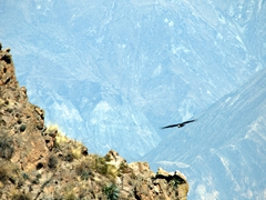 Watching the condors soar on thermals at Colca Canyon was an exercise in patience