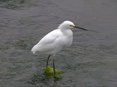 Snowy egret; Paracas