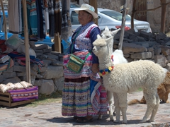 An elderly lady walking her alpaca and llama in Pinchollo