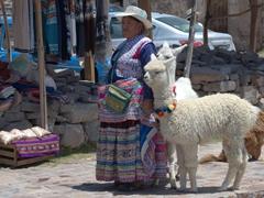 An elderly lady walking her alpaca and llama in Pinchollo
