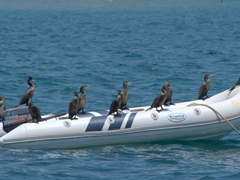 Cormorants resting on a dinghy; Punta Sal