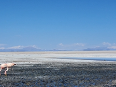 Pink flamingos thrive in the Uyuni Salt Flats