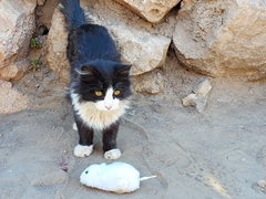 Hostal cat playing with a mouse prop