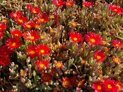 Red flowers add a splash of color in the Uyuni Salt Flats; Coqueza