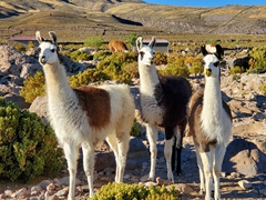 Llamas at the base of Tunupa Volcano