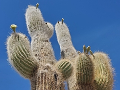 Cactus detail; Isla Incahuasi