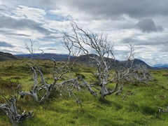Forest of dead trees caused by a careless tourist who set a huge bush fire in 2012; Torres del Paine