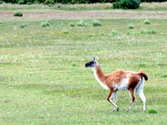 Guanaco grazing by the roadside; San Gregorio